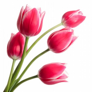 Magnificent-Tulips-Flowers-6